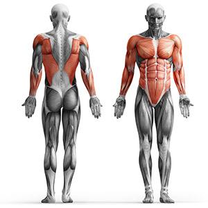 MS-L101_muscles.jpg